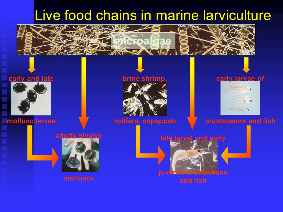 Live food chains in marine larviculture