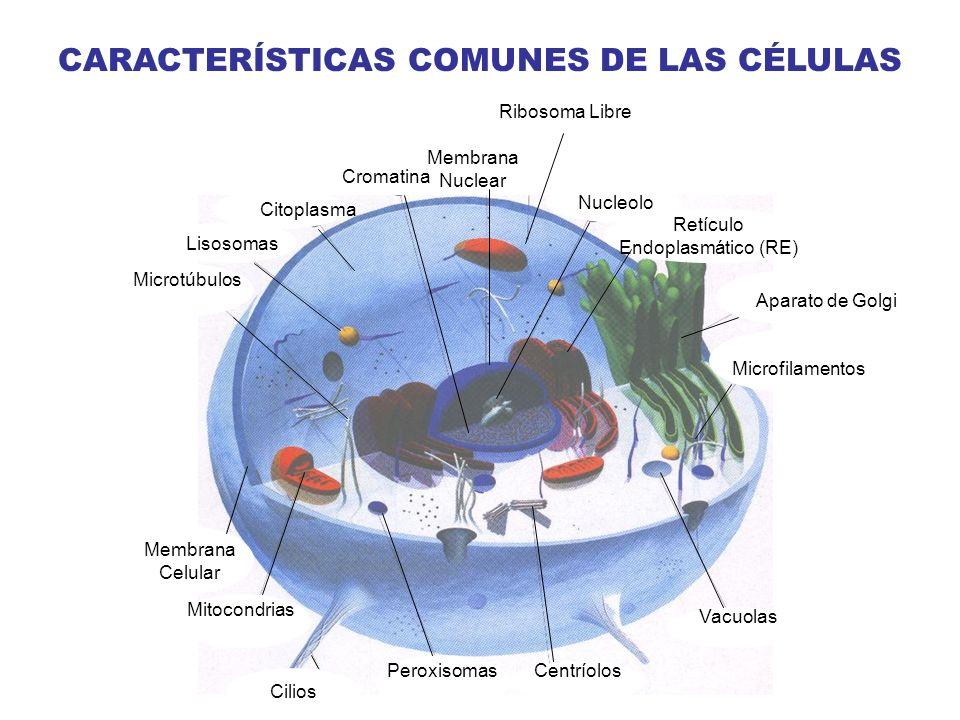 CARACTERÍSTICAS COMUNES DE LAS CÉLULAS