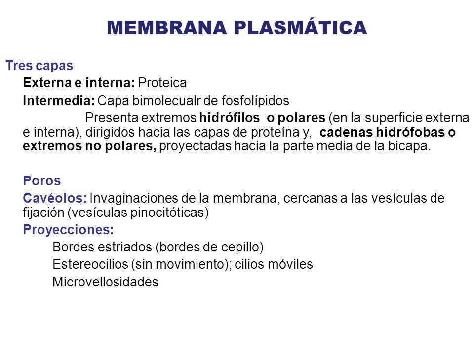 MEMBRANA PLASMÁTICA Tres capas Externa e interna: Proteica