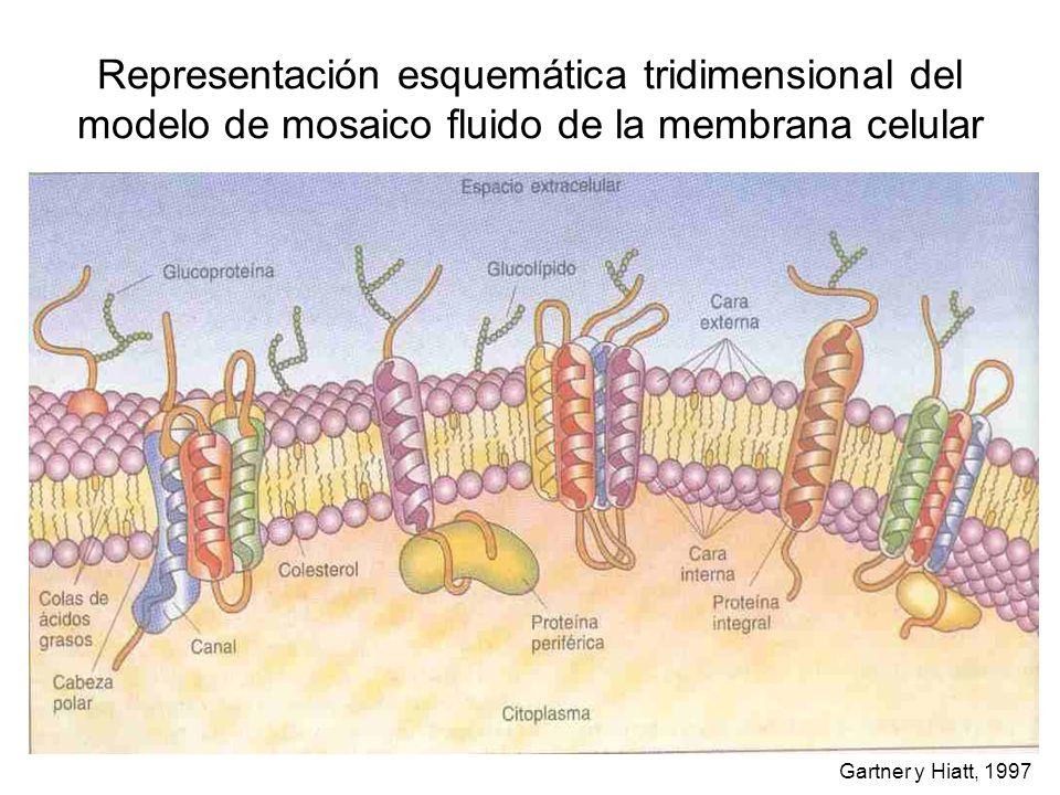 Representación esquemática tridimensional del modelo de mosaico fluido de la membrana celular