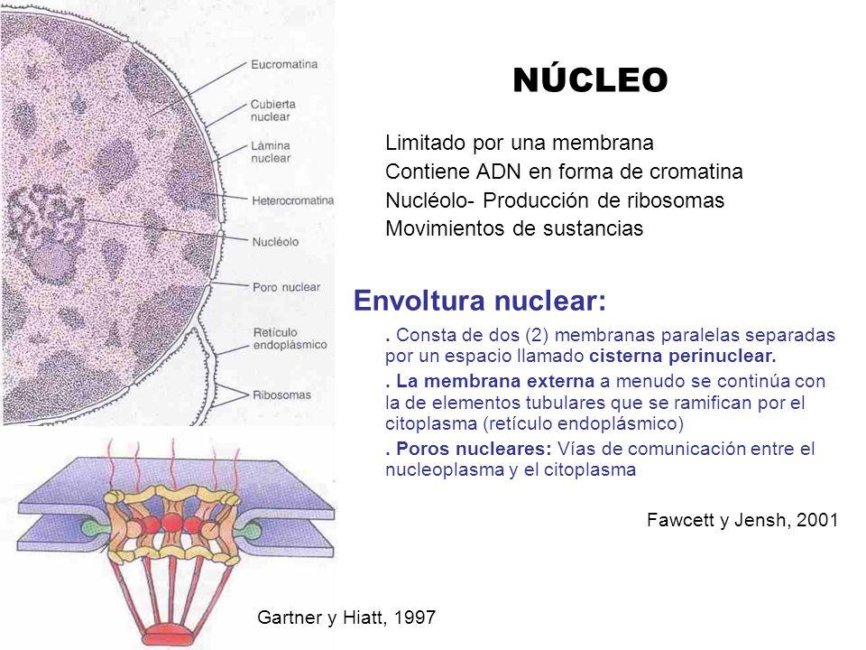 NÚCLEO Envoltura nuclear: Limitado por una membrana