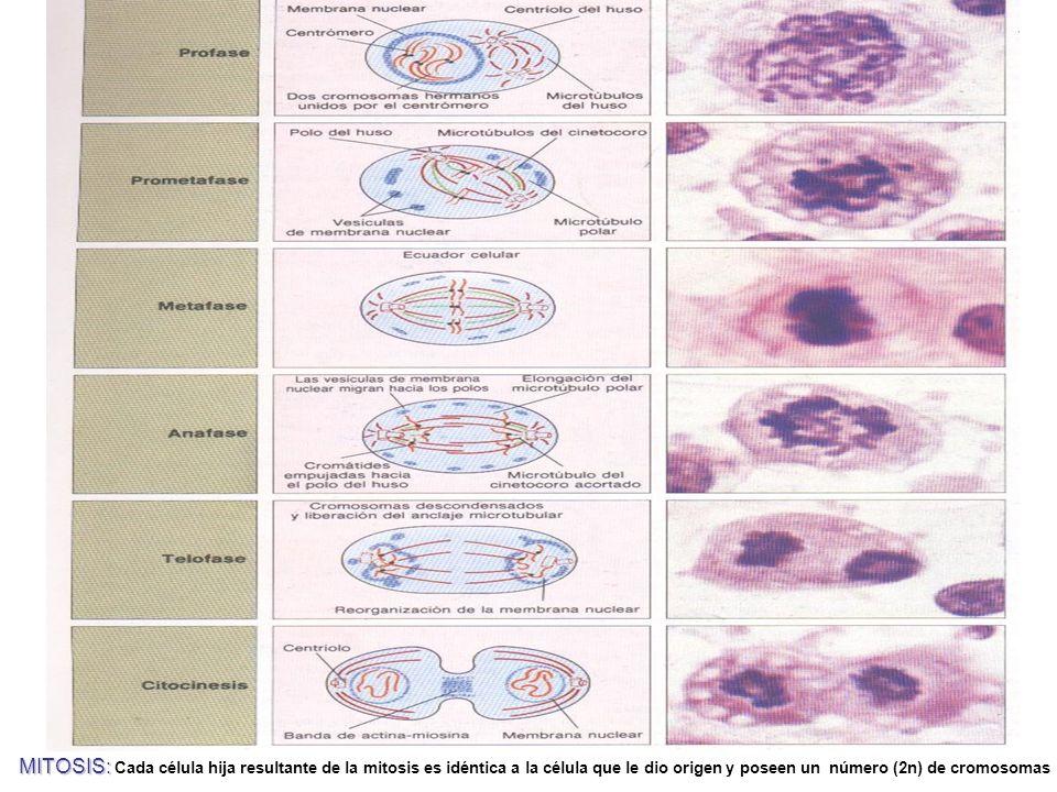 MITOSIS: Cada célula hija resultante de la mitosis es idéntica a la célula que le dio origen y poseen un número (2n) de cromosomas