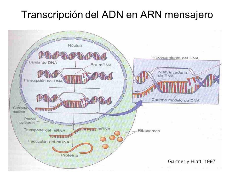 Transcripción del ADN en ARN mensajero