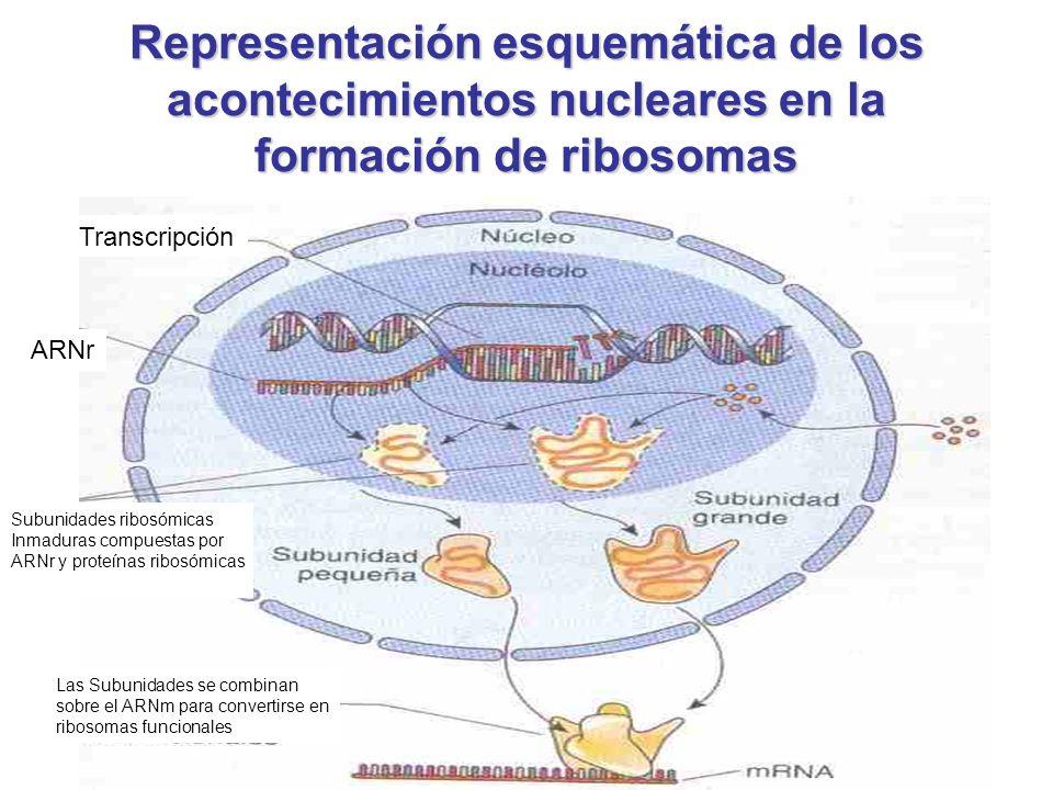 Representación esquemática de los acontecimientos nucleares en la formación de ribosomas