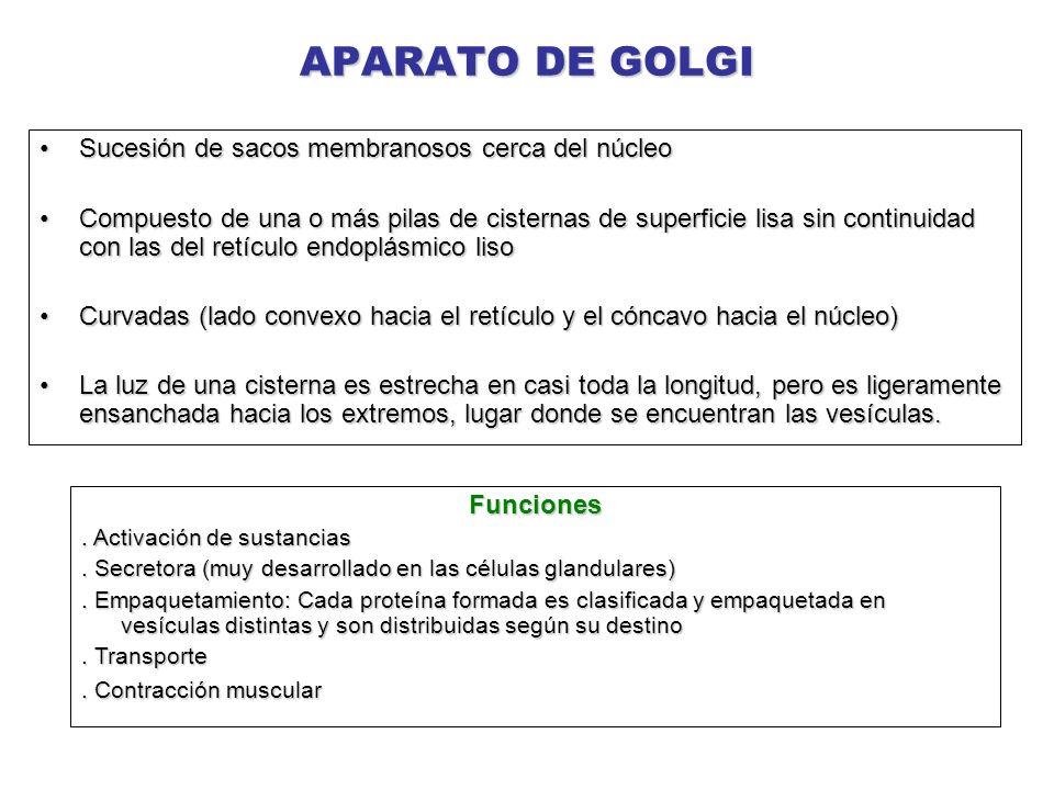 APARATO DE GOLGI Sucesión de sacos membranosos cerca del núcleo