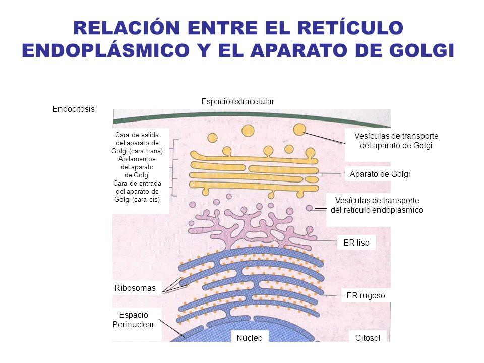 RELACIÓN ENTRE EL RETÍCULO ENDOPLÁSMICO Y EL APARATO DE GOLGI