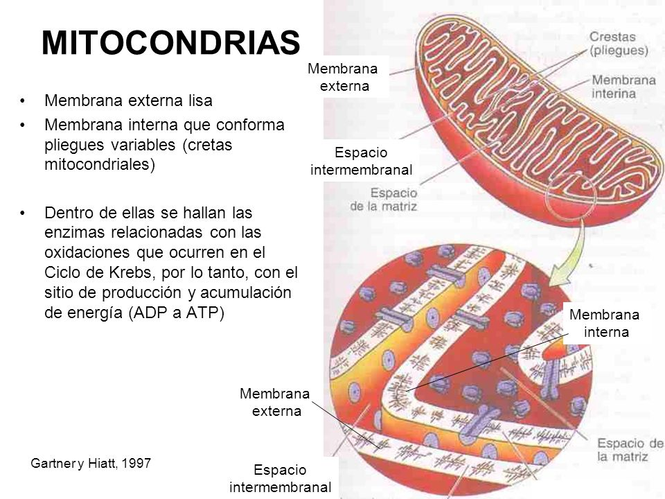 MITOCONDRIAS Membrana externa lisa