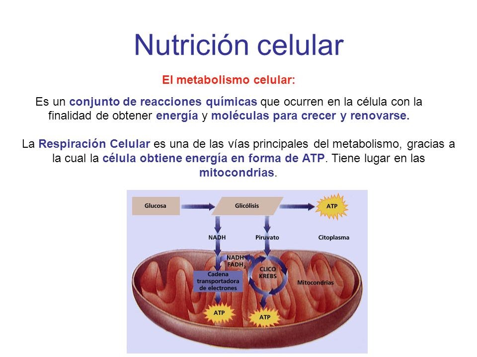 El metabolismo celular: