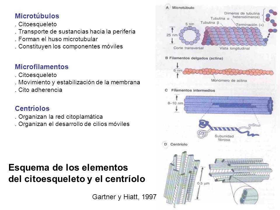 Esquema de los elementos del citoesqueleto y el centríolo