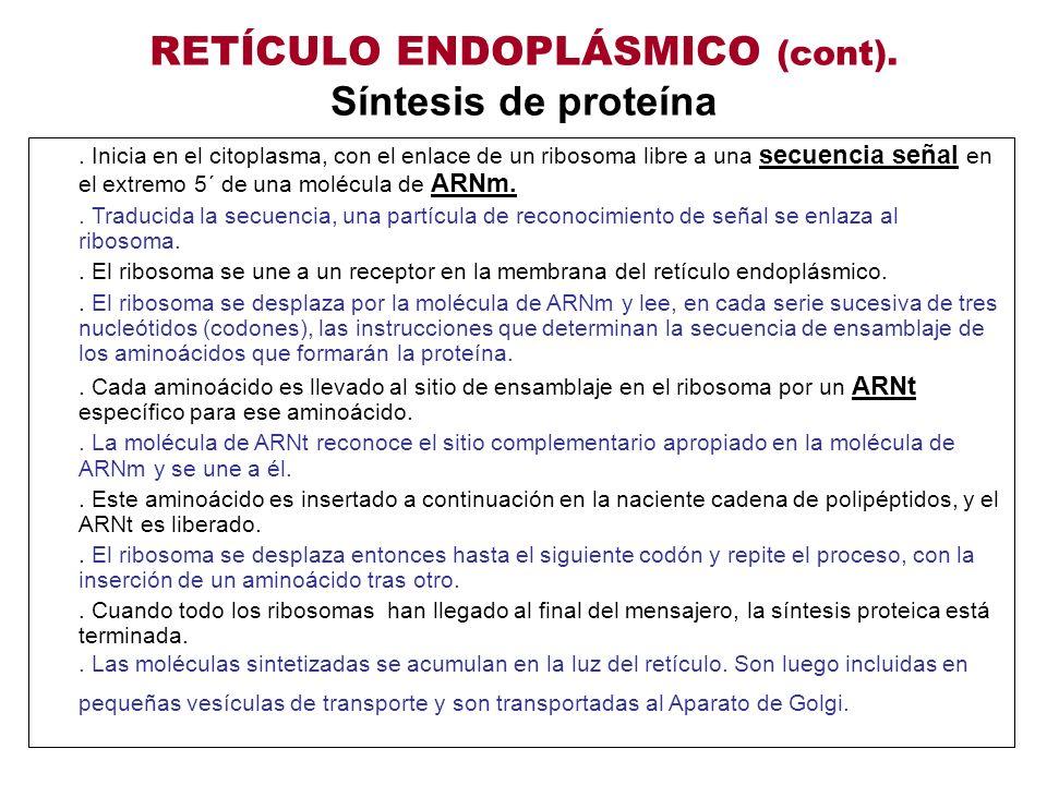 RETÍCULO ENDOPLÁSMICO (cont). Síntesis de proteína