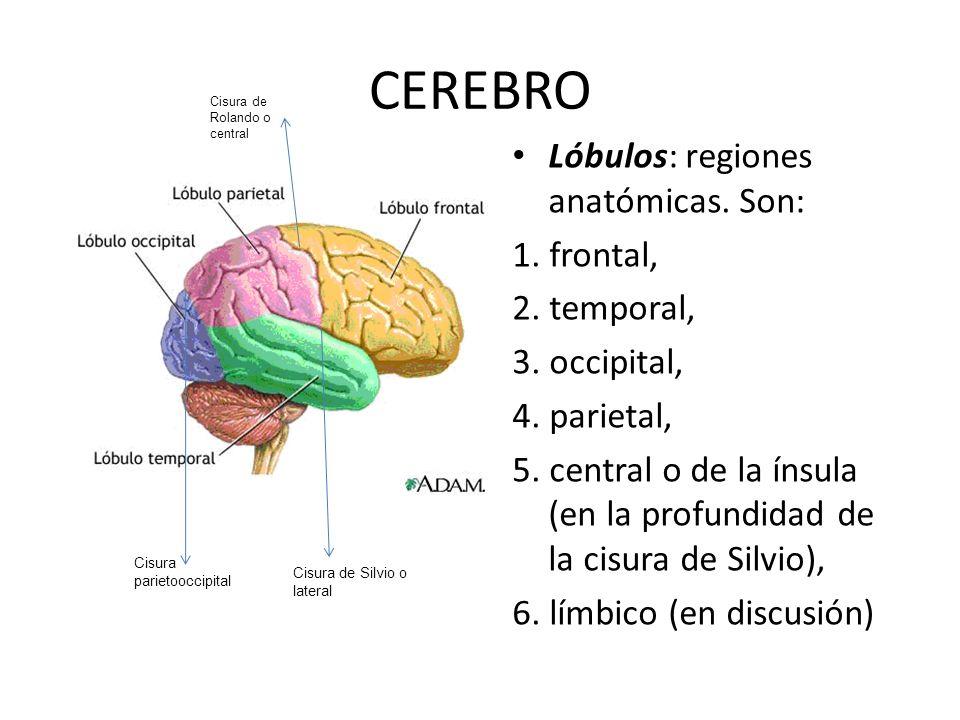 CEREBRO Lóbulos: regiones anatómicas. Son: 1. frontal, 2. temporal,