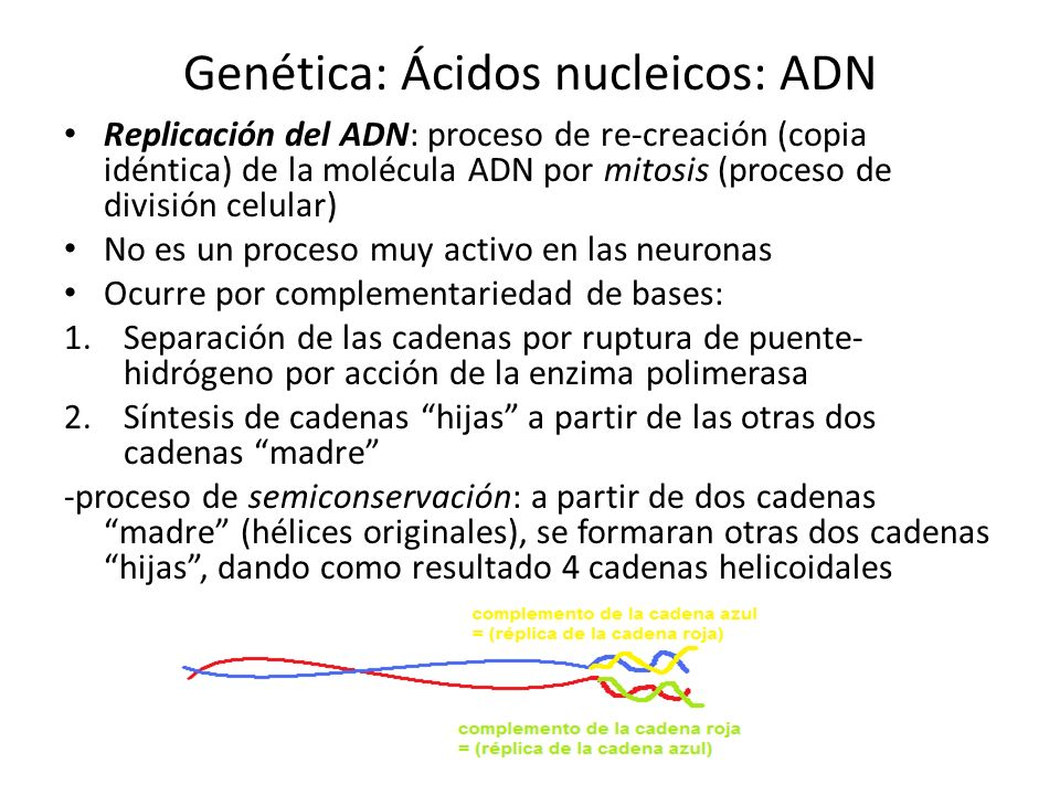 Genética: Ácidos nucleicos: ADN