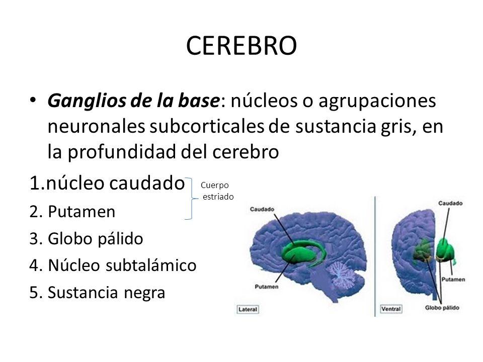 CEREBRO Ganglios de la base: núcleos o agrupaciones neuronales subcorticales de sustancia gris, en la profundidad del cerebro.