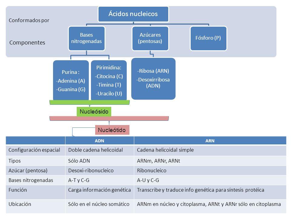 Ácidos nucleicos Componentes Bases nitrogenadas Purina : -Adenina (A)