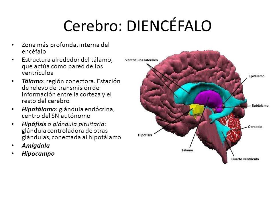 Cerebro: DIENCÉFALO Zona más profunda, interna del encéfalo