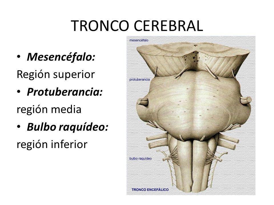 TRONCO CEREBRAL Mesencéfalo: Región superior Protuberancia: