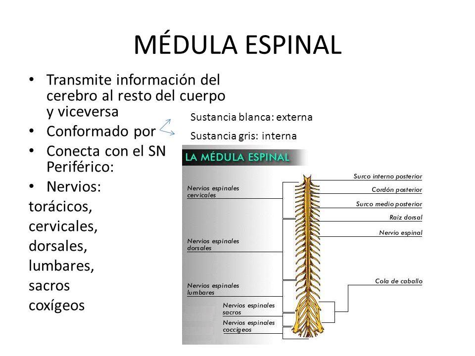 MÉDULA ESPINAL Transmite información del cerebro al resto del cuerpo y viceversa. Conformado por. Conecta con el SN Periférico: