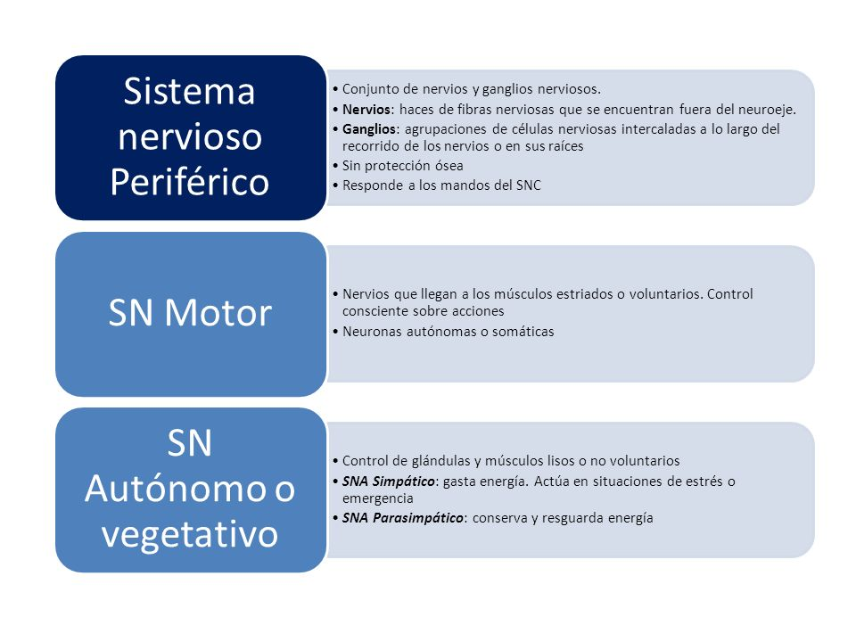 Sistema nervioso Periférico Conjunto de nervios y ganglios nerviosos.