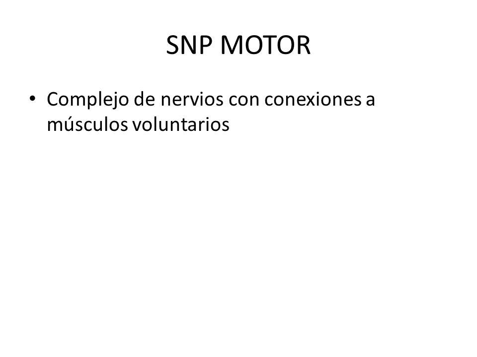 SNP MOTOR Complejo de nervios con conexiones a músculos voluntarios