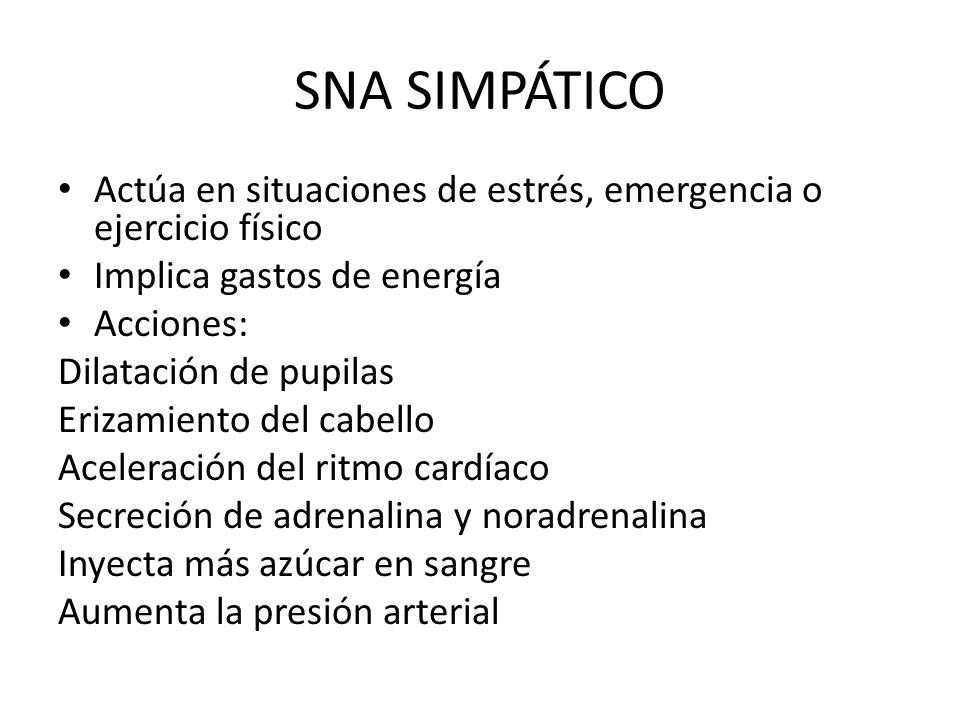 SNA SIMPÁTICO Actúa en situaciones de estrés, emergencia o ejercicio físico. Implica gastos de energía.