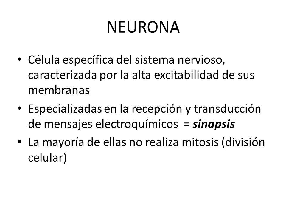 NEURONA Célula específica del sistema nervioso, caracterizada por la alta excitabilidad de sus membranas.