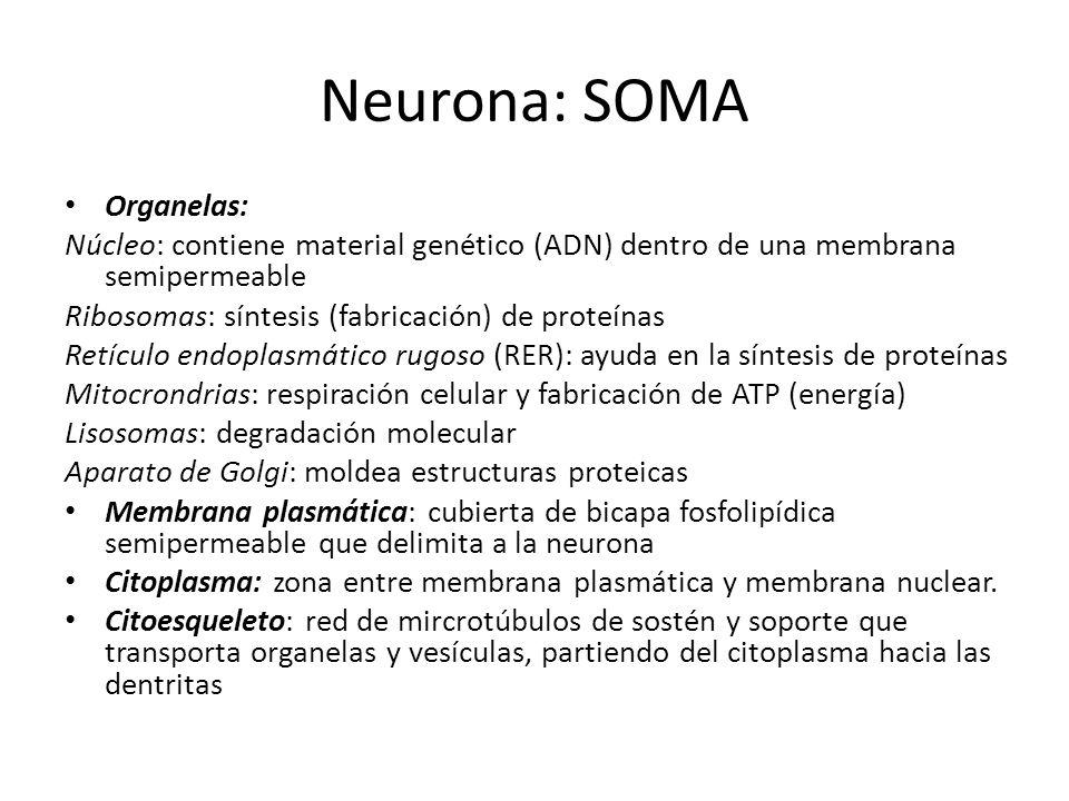 Neurona: SOMA Organelas: