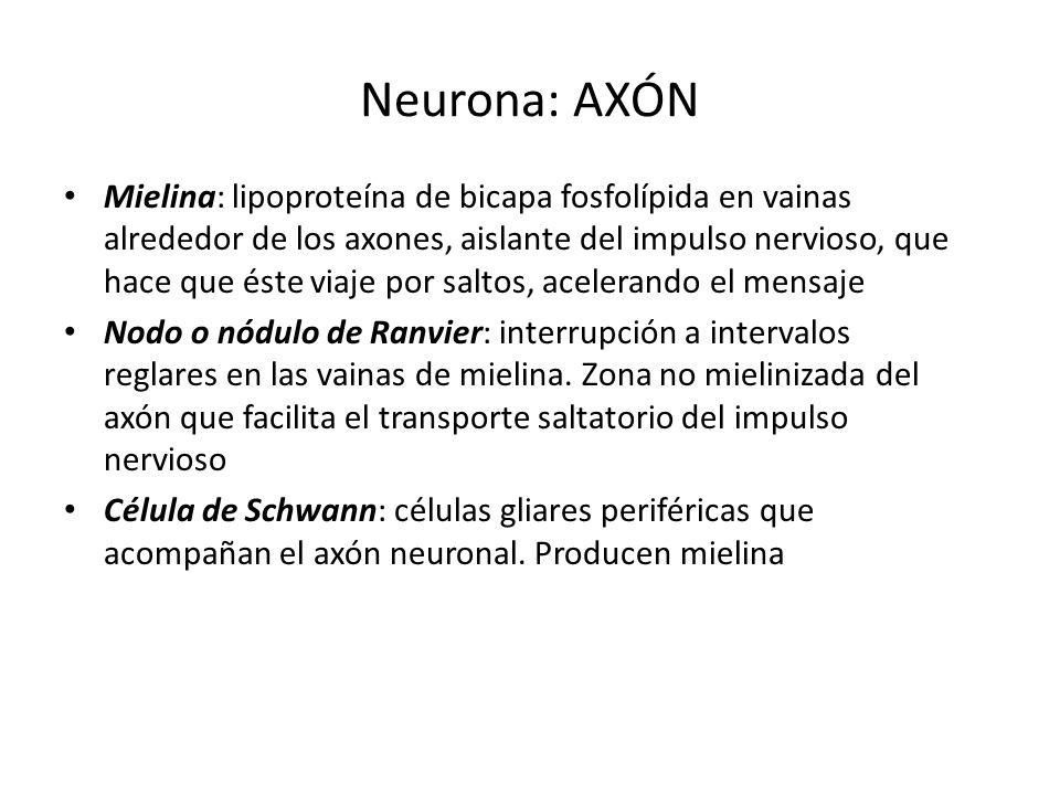 Neurona: AXÓN