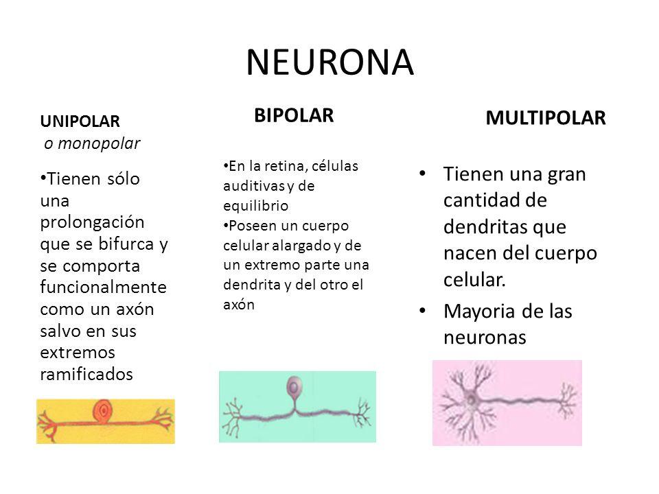 NEURONA BIPOLAR MULTIPOLAR