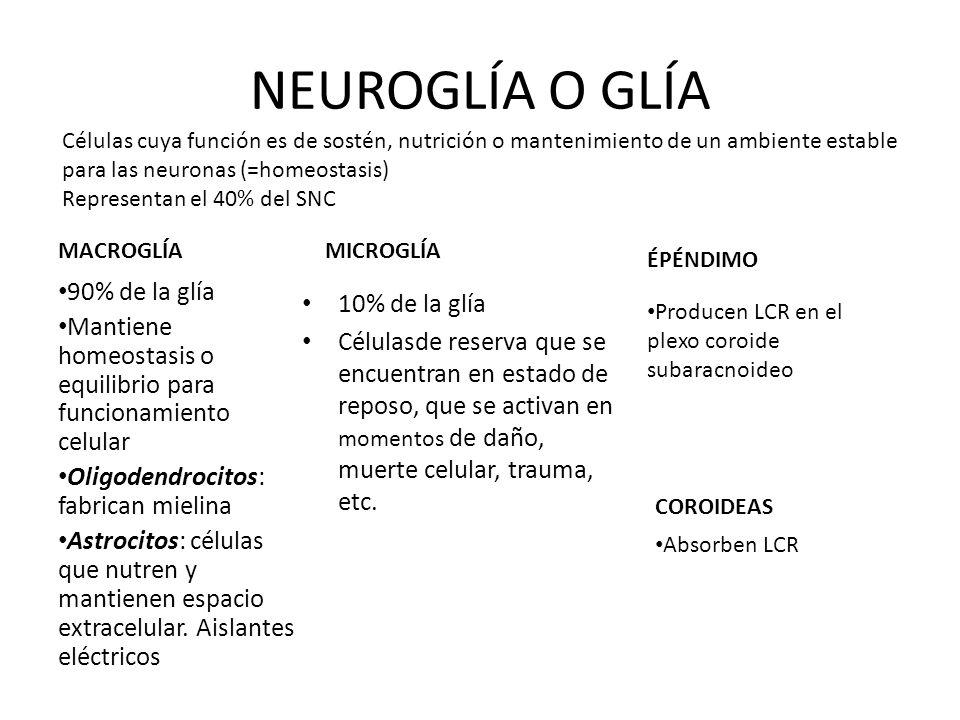 NEUROGLÍA O GLÍA 90% de la glía 10% de la glía