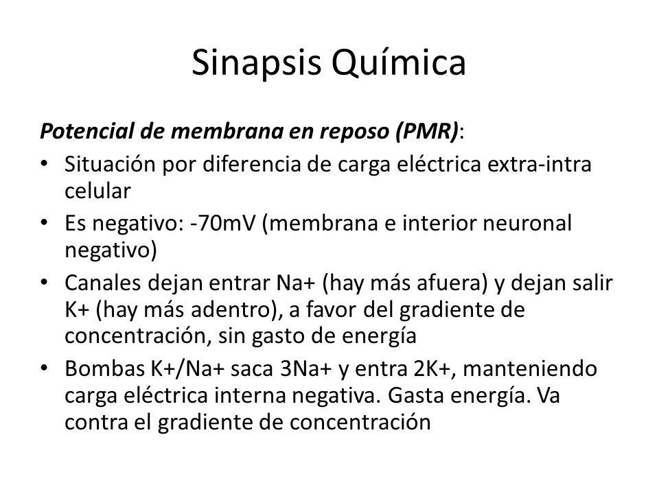 Sinapsis Química Potencial de membrana en reposo (PMR):