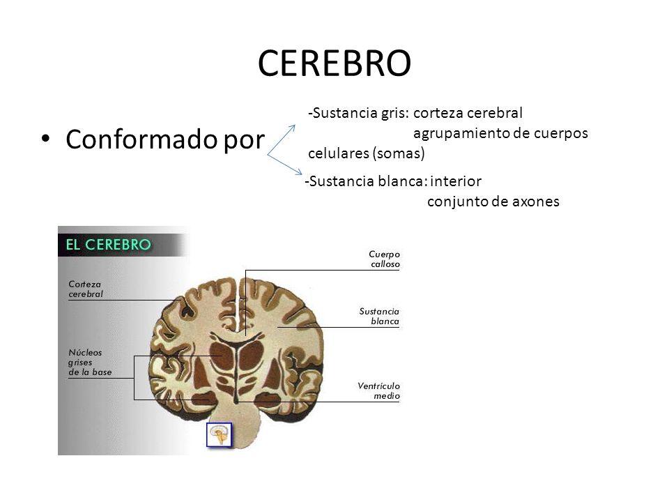 CEREBRO Conformado por -Sustancia gris: corteza cerebral