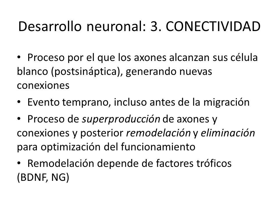 Desarrollo neuronal: 3. CONECTIVIDAD