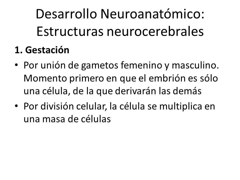 Desarrollo Neuroanatómico: Estructuras neurocerebrales