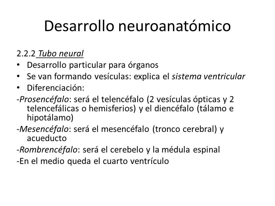 Desarrollo neuroanatómico