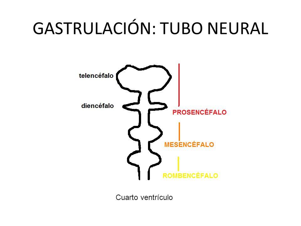 GASTRULACIÓN: TUBO NEURAL