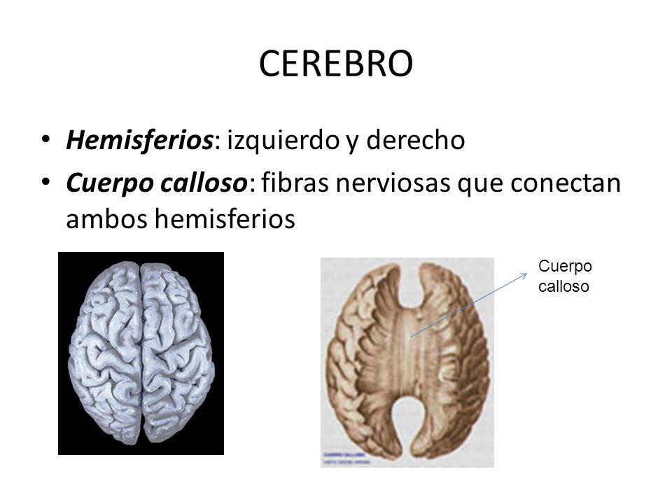 CEREBRO Hemisferios: izquierdo y derecho