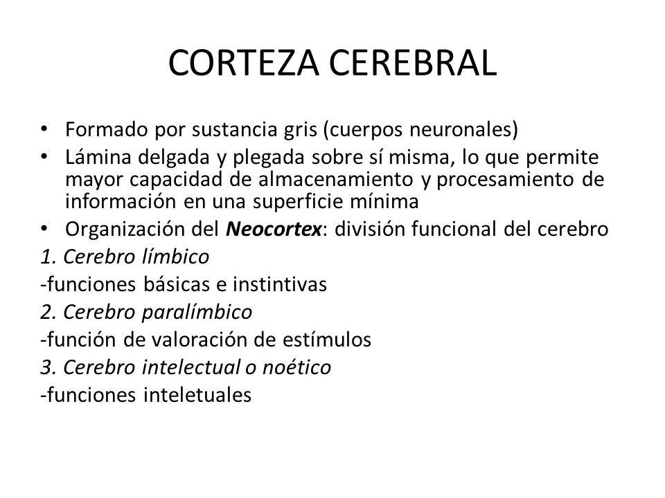 CORTEZA CEREBRAL Formado por sustancia gris (cuerpos neuronales)