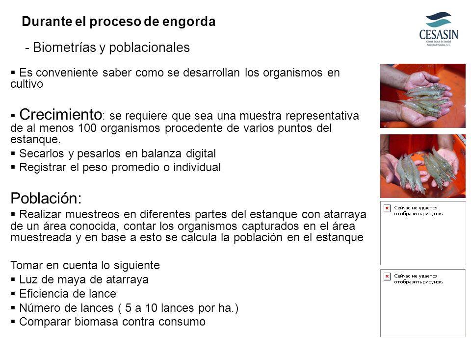 Población: Durante el proceso de engorda - Biometrías y poblacionales