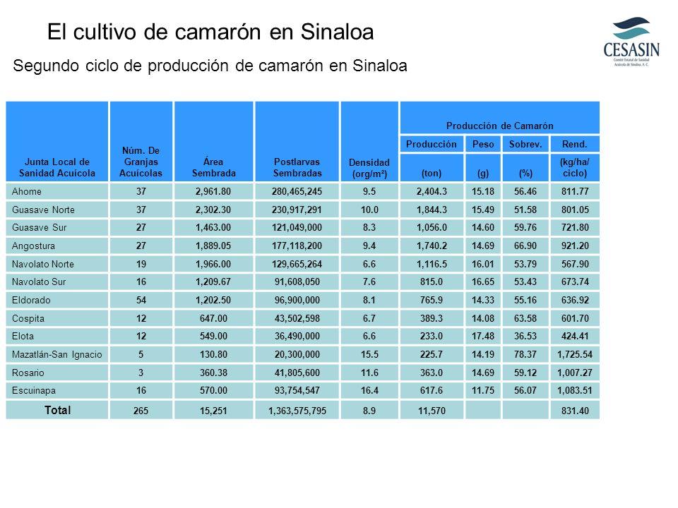 El cultivo de camarón en Sinaloa