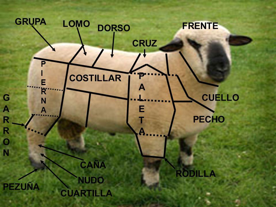 GRUPA LOMO FRENTE DORSO CRUZ PALETA COSTILLAR GARRON CUELLO PECHO CAÑA