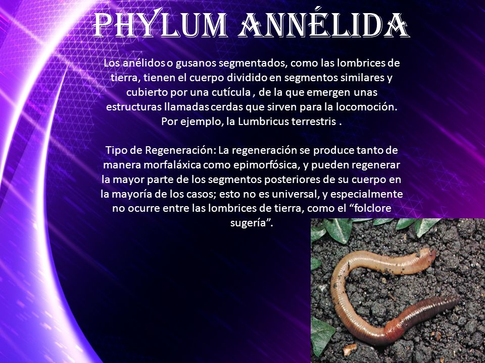 Phylum Annélida
