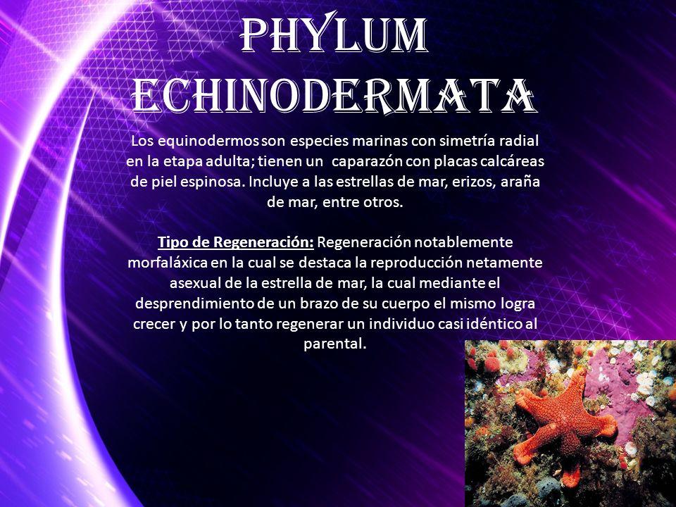 Phylum Echinodermata.