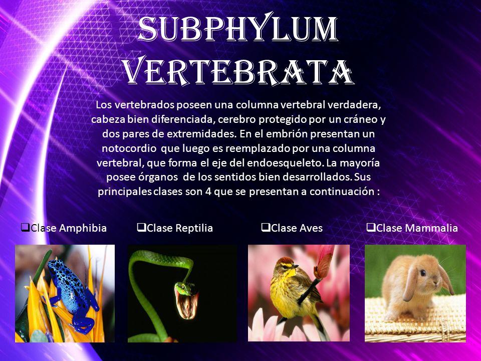 Subphylum Vertebrata.