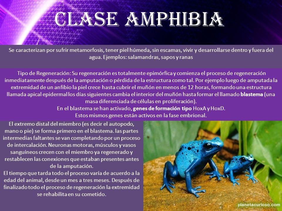 Clase Amphibia
