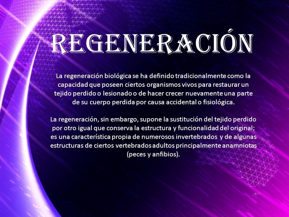 La regeneración, sin embargo, supone la sustitución del tejido perdido