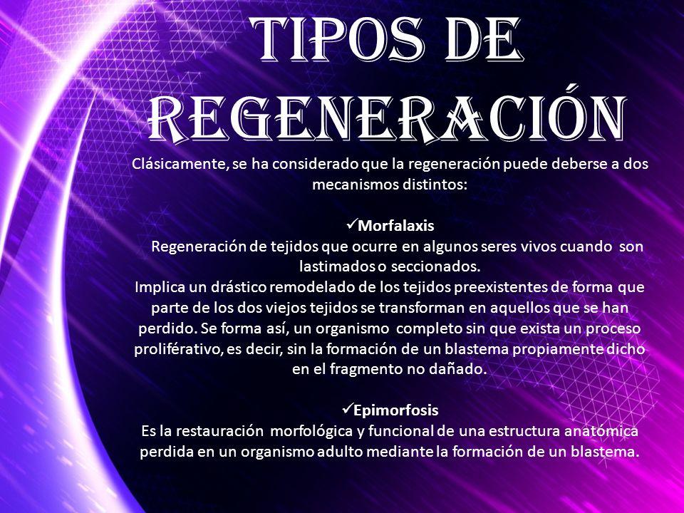TIPOS DE Regeneración. Clásicamente, se ha considerado que la regeneración puede deberse a dos mecanismos distintos: