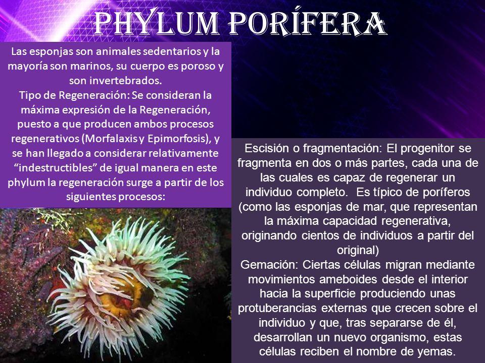 Phylum Porífera Las esponjas son animales sedentarios y la mayoría son marinos, su cuerpo es poroso y son invertebrados.