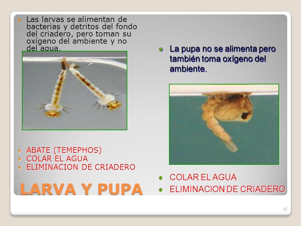Las larvas se alimentan de bacterias y detritos del fondo del criadero, pero toman su oxígeno del ambiente y no del agua.