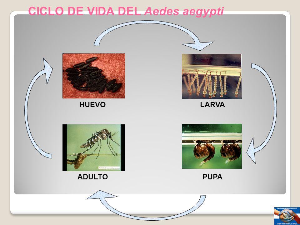 CICLO DE VIDA DEL Aedes aegypti