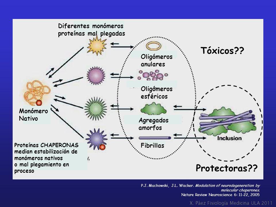 Tóxicos Protectoras Diferentes monómeros proteínas mal plegadas